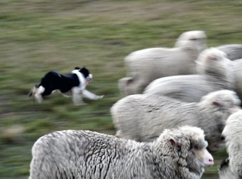 Good Shepherds Need A Good Sheep Dog